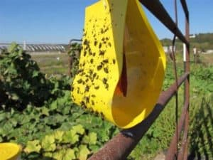 Cucumber Beetle Trap