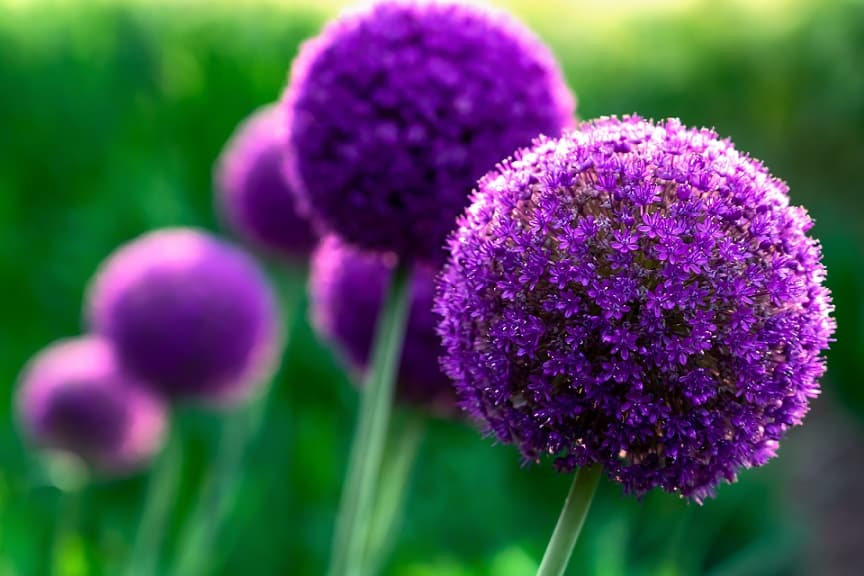 Giant violet Onion (Allium Giganteum) flowers blooming