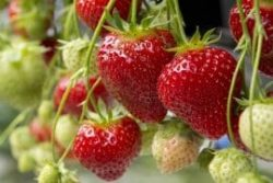 Fresh Strawberries growing in the garden