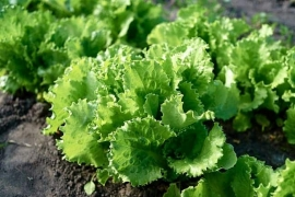lettuce plant growing on garden bed in sunny summer day.