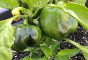 Bell Peppers Turning Black on the Plant