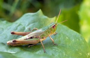 Grasshopper in the Garden